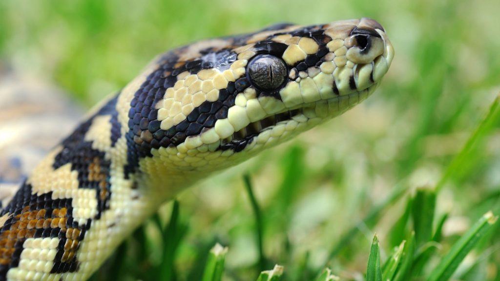 Aussie Snake