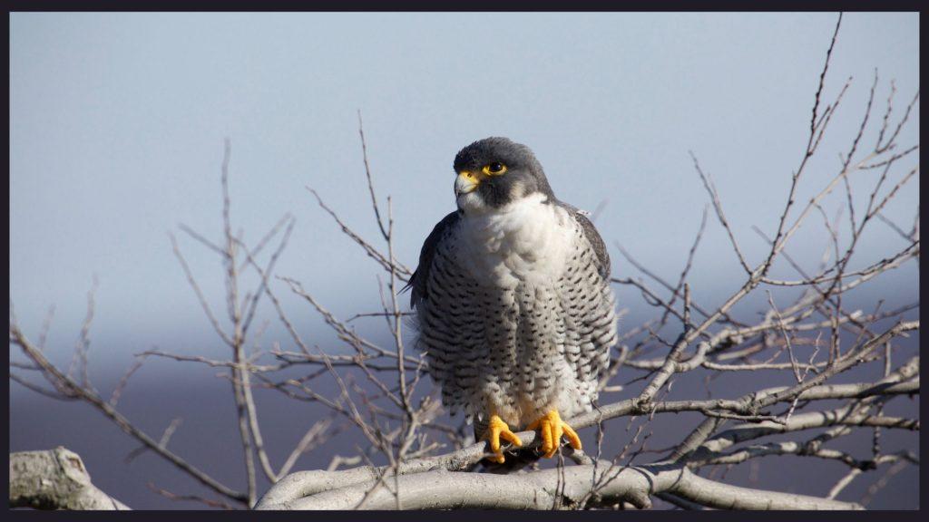 Peregrine-Falcon-Main