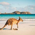 Kangaroo: The Australian Symbol