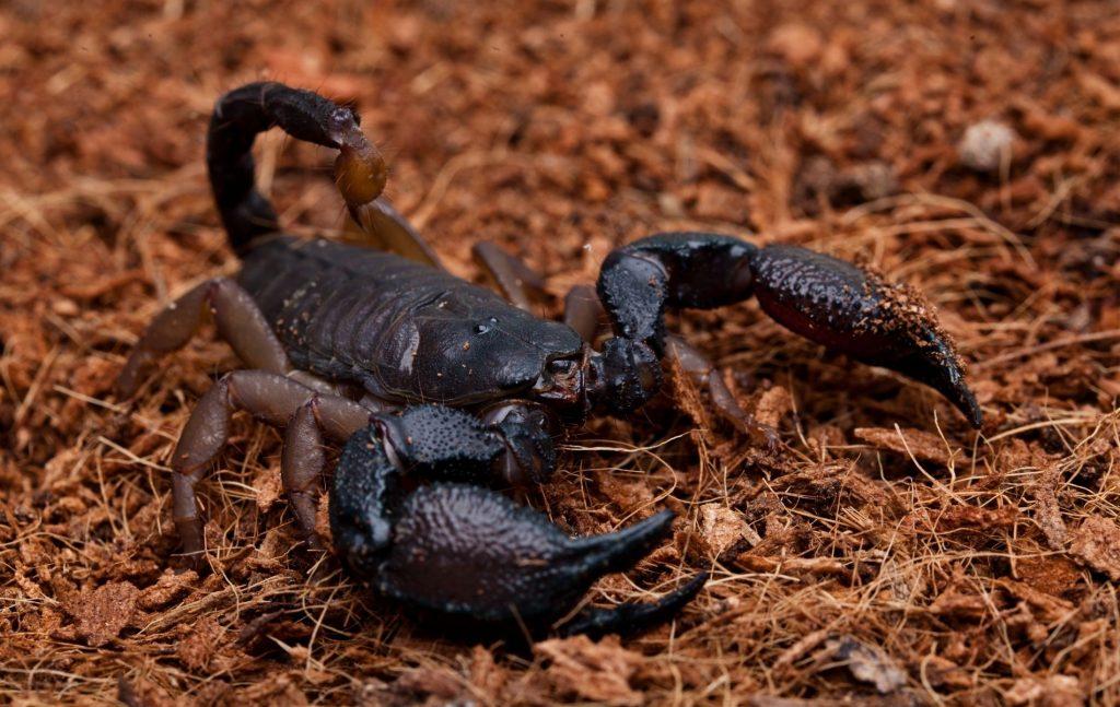 Scorpions Fact