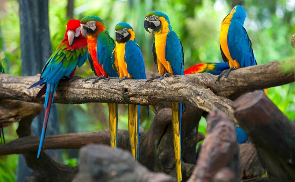 Parrot Mimic