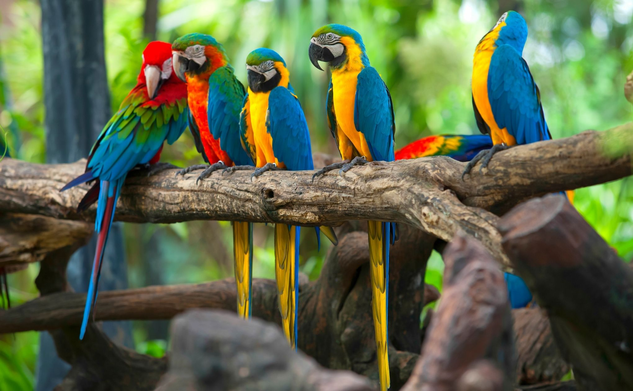 How do Parrot learn Mimicking quickly